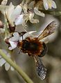 Megachile sicula female 2.jpg
