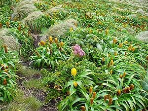Bulbinella rossii - Megaherb community on Campbell Island with Bulbinella rossii (yellow to orange flowers) and Anisotome latifolia (pink flowers)