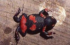 240px melanophryniscus atroluteus