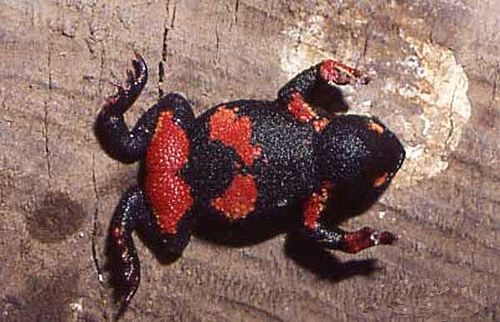 500px melanophryniscus atroluteus