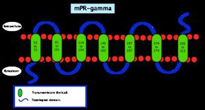 Membrane progesterone receptor - Image: Membrane progesterone receptor gamma