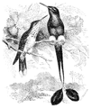 Menniskans härledning och könsurvalet illustration sida II-57.png