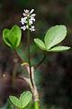 MenyanthesTrifoliata1.jpg