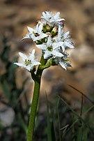 Menyanthes trifoliata Spechtensee 01.JPG