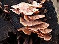 Merulius tremellosus 105910633.jpg