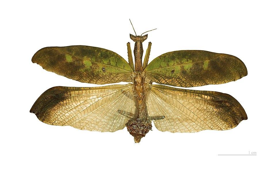 Metilia brunnerii MHNT male vol
