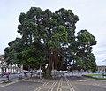 Metrosidero tree - Ponta Delgada, Azores - panoramio.jpg