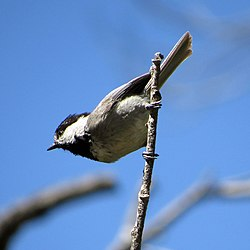 Mexican Chickadee (18006668429).jpg