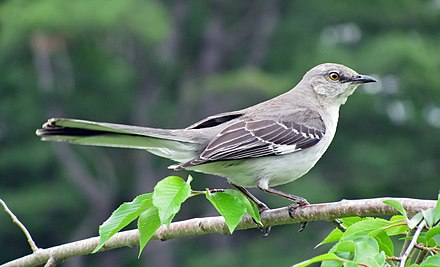 The northern mockingbird is the state bird of Texas. Mimus polyglottos adult 02 cropped.jpg