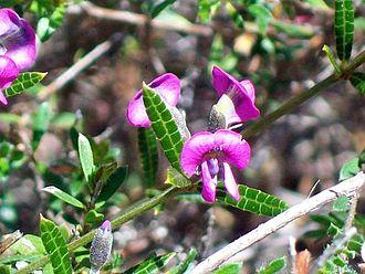 Mirbelia rubiifolia - Heath Mirbelia at Ku-ring-gai Chase National Park, Australia