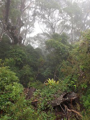 Springbrook, Queensland - Springbrook National Park rainforest, 2016