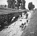 Mjutni gredo na delo (delat kopo in past), Robidišče 1951.jpg