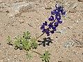 Mojave lupine, Lupinus odoratus (43203054014).jpg