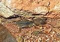 Mole Cricket, Gryllotalpidae - Flickr - GregTheBusker.jpg