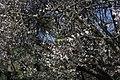 Monk Parakeet - Myiopsitta monachus - panoramio.jpg
