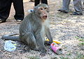 Monkey at Angkor Wat with a fanta can.jpg
