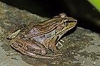 Montane leopard frog (Lithobates taylori) 1.jpg