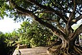 Montpelier Plantation Inn ficus tree, St John Figtree Parish, Nevis - panoramio (1).jpg
