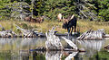 Moose (Alces alces), Female and Male - Algonquin Provincial Park, Ontario.jpg