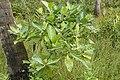 Morinda citrifolia 5807.jpg