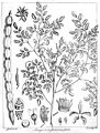Moringa pterygosperma Govindoo.jpg