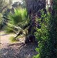Morning Sun, Redlands CA 6-30-13a (9257061946).jpg