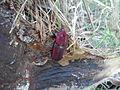 Morrut de les palmeres sobre palmera infectada 2013-09-09 14-28.jpg