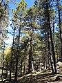Mother and Children - Pinus ponderosa - panoramio.jpg