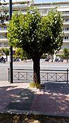 Mulberry tree in Greece.jpg