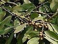 Mulluhonne Mara (Kannada- ಮುಳ್ಳುಹೊನ್ನೆ ಮರ) (3031069439).jpg
