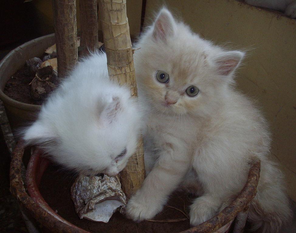 Chinchilla Cats For Sale Pretoria