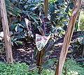 Musa acuminata Syn zebrina HabitusLeaves BotGardBln0906.jpg