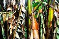 Musa x paradisiaca-Japoniar bananondo 15.jpg