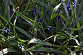 Muscari aucheri 03.jpg