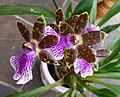My latest Orchid is in flower again with an exquisite perfume. (32373479013).jpg