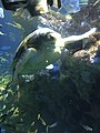 Myrtle the Green Sea Turtle 04.jpg