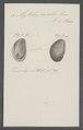 Mytilus ovalis - - Print - Iconographia Zoologica - Special Collections University of Amsterdam - UBAINV0274 076 01 0010.tif