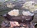 Myxarium nucleatum 58203707.jpg