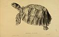 N98 Sowerby & Lear 1872 (geochelone sulcata).jpg