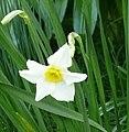 Narcissus medioluteus (flower).jpg