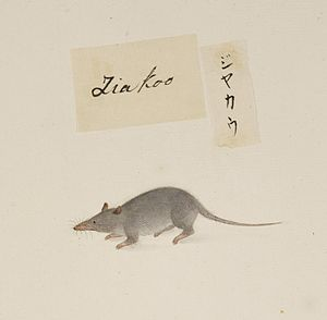 Asian house shrew - Coloured pencil drawing by Kawahara Keiga, 1823-1829