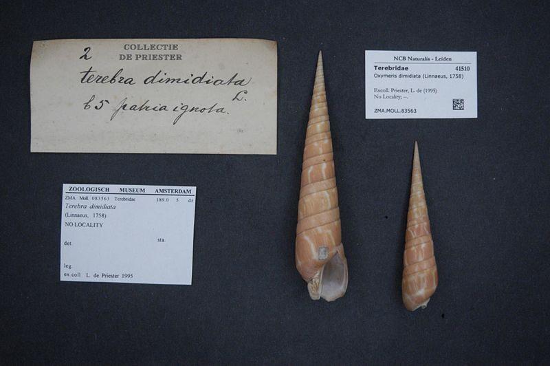File:Naturalis Biodiversity Center - ZMA.MOLL.83563 - Oxymeris dimidiata (Linnaeus, 1758) - Terebridae - Mollusc shell.jpeg