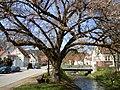 Naturdenkmal Dorflinde, Bad Niedernau.jpg