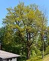 Naturdenkmal Stiel-Eiche am Wiesensteig in St. Martin (VS 12)b.JPG