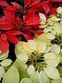 Nature's beauty lalbhag flower show.jpg