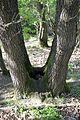 Naturschutzgebiet Steinberg bei Wesseln - Wäldchen - Trichterbaum (3).jpg