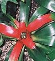 Neoregelia carolinae, the Blushing Bromeliad (9304731482).jpg