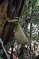 Nepenthes surigaoensis upper pitcher Pantaron Range.jpg