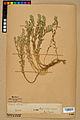 Neuchâtel Herbarium - Alyssum alyssoides - NEU000021921.jpg