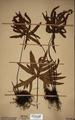 Neuchatel Herbarium Types NEU000113038.tif